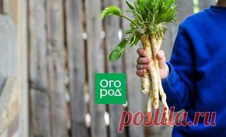 Выращивание хрена: какой выбрать, когда сажать, как ограничить | На грядке (Огород.ru)