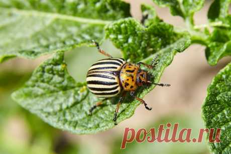 Надо ли бороться с колорадским жуком? — Ботаничка.ru
