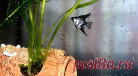 Скалярия: ангел в аквариуме   Быково-медиа