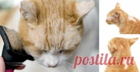 У кота выпадает шерсть и образуются проплешины: почему кошка лысеет?