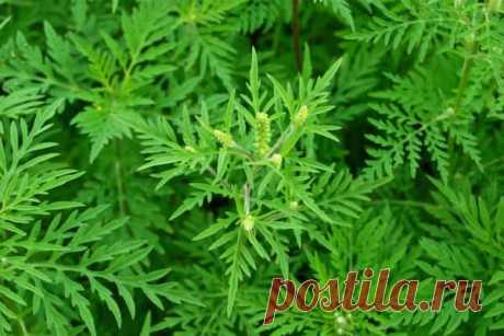 «Амброзия»: описание, фото, особенности, вред и борьба с растением