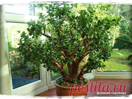 Мои лучшие подкормки для обильного цветения - денежного дерева | Дневник садовода | Яндекс Дзен