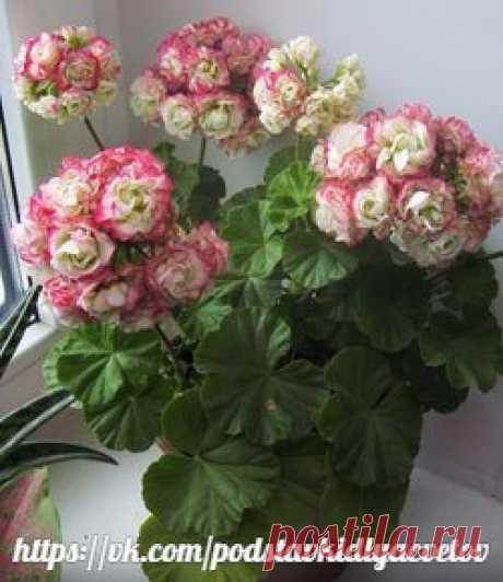 5 СЕКРЕТОВ УСПЕШНОГО ВЫРАЩИВАНИЯ ПЕЛАРГОНИИ (ГЕРАНИ)  Пеларгония – неприхотлива в уходе, быстро растёт, хорошо и обильно цветёт (при хорошем уходе может цвести круглый год), обладает приятным пряным ароматом, который, кстати, источают не цветы, а листья.   Пеларгонии для успешного её развития нужны  (и это и есть те самые пять секретов, которыми мне хотелось с вами поделиться):   1. Хороший и грамотный полив. Но слишком заливать её не стоит, может загнить и погибнуть.   Пр...