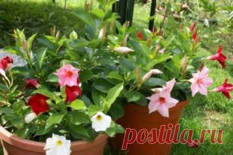 Дипладения: уход в домашних условиях, выращивание, размножение, болезни листьев