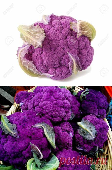 Фиолетовая капуста: плюсы и минусы выращивания