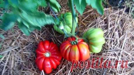 Выращивание томатов в открытом грунте под затеняющей сеткой