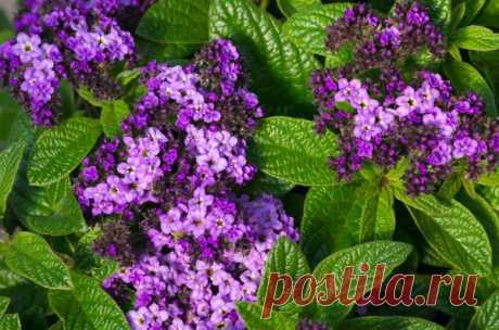 Гелиотроп - цветок, который покорит вас своим ароматом  Подбирая цветочные культуры для своей садовой клумбы, непременно стоит обратить внимание на очаровательный гелиотроп, который дополнит любой пейзаж и создаст неповторимый акцент на участке. Пышные со…