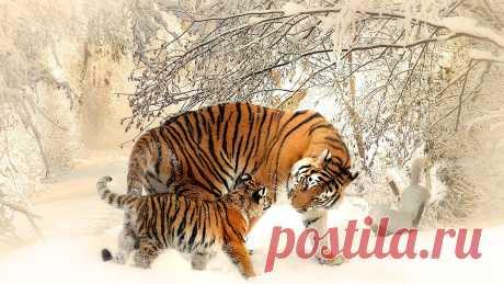 фото тигров на рабочий стол - 61 тыс. картинок. Поиск Mail.Ru