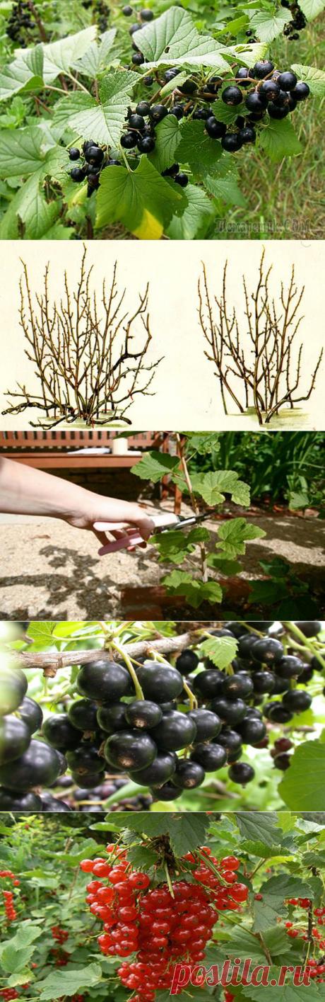 Обрезка смородины весной или как получить обильный урожай