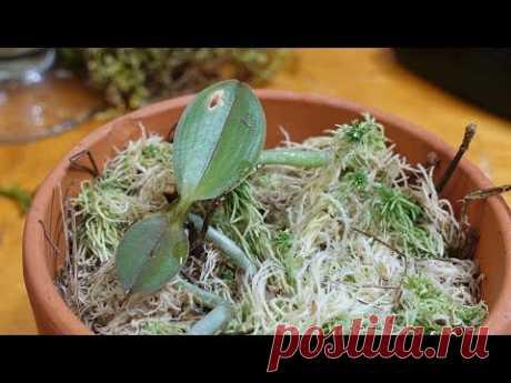 ДЖЕМ Как из одной орхидеи вырастить 100 без цитокининов