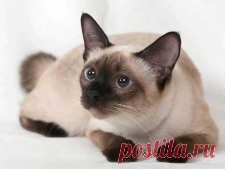 Все, что вы хотели знать о сиамских кошках | nashi-pitomcy.ru