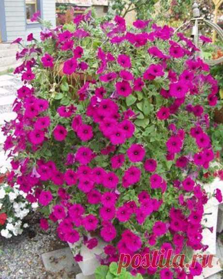 Как добиться, чтобы петуния цвела пышным цветом | 6 соток