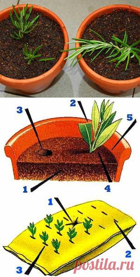 Размножение растений черенками. Общие правила черенкования.