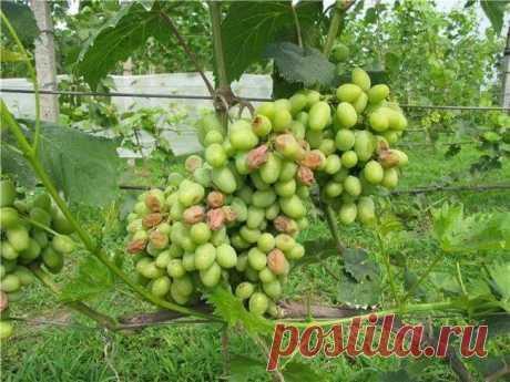Болезни винограда: фото и чем лечить?