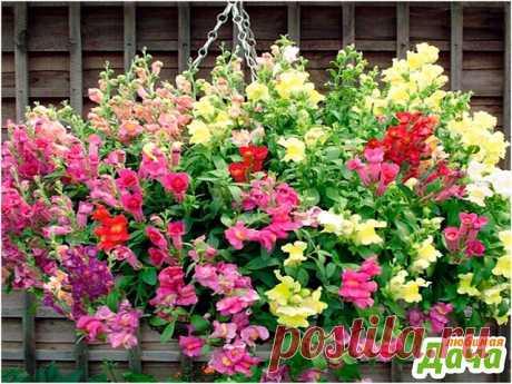 """Это не петуния, а самый обычный """"львиный зев""""  Вот такое пышное цветение получилось при посеве цветка сразу в кашпо. Особенно красиво получилось и потому что использовались разные расцветки."""
