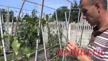 Сам себе агроном - Прививка винограда