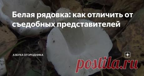 Белая рядовка: как отличить от съедобных представителей Отличаете ли Вы съедобные грибы от ядовитых? Давайте разберемся в грибах