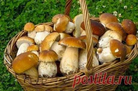 Как вырастить много белых грибов на своем участке - Квартира, дом, дача - медиаплатформа МирТесен Мы все привыкли к тому, что за грибами надо ходить в лес. Или в магазин. Однако, грибы – это такая же культура, которую можно вырастить. Как картошку. К примеру, белые грибы можно с успехом растить на своем дачном участке. Не верите? Естественно, что такой продукт требует внимания, сил и времени.