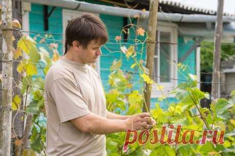 Виноград в первый год выращивания – советы по правильной посадке и уходу | Виноград (Огород.ru)