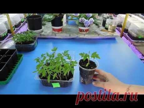 🍅🍅🍅САМЫЙ ПРОСТОЙ СПОСОБ ПОСЕВА ТОМАТОВ НА РАССАДУ ! Выращивание из семян