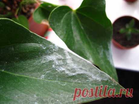 Листья комнатных цветов блестят как новенькие. Расскажу как отмыть налет и пыль с листьев растений