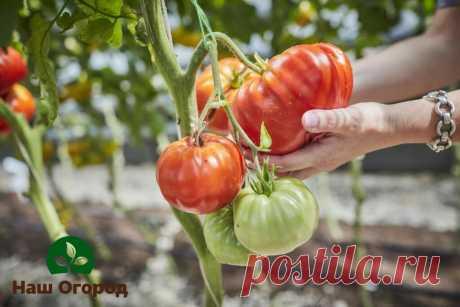 Все перепробовали, но томаты так и не созревают? Есть эффективный метод | НАШ ОГОРОД | Яндекс Дзен
