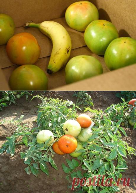 Как ускорить дозревание помидоров в домашних условиях? | Любимая Дача | Яндекс Дзен