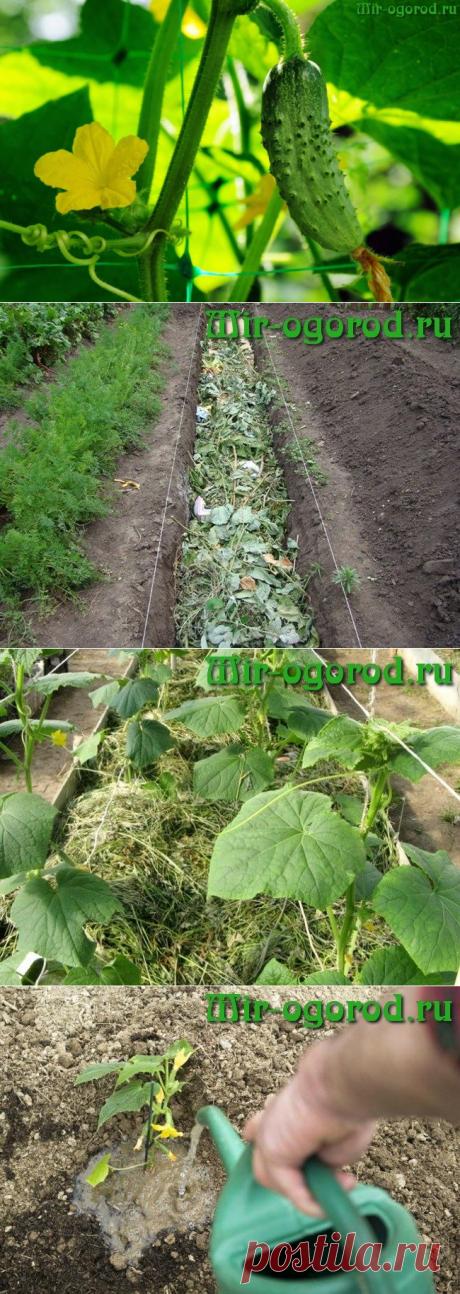 Как увеличить урожайность огурцов в открытом грунте