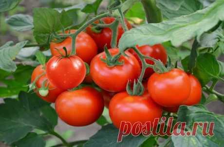 Как значительно повысить урожайность помидор – простые способы Простые способы повысить урожайность томатов-помидор, улучшить вкусовые качества и продолжительность хранения. Подготавливая грядки к будущему сезону, огородники отводят самое солнечное и просторное место для томатов, ведь это одни из основных летних овощей, которые добавляют в салат, борщ, соус, консервируют и даже начиняют. В течение лета тщательно ухаживают за посадками, дабы они не пострадали от фитофтороза...