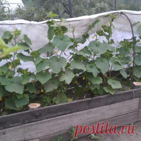 Как вырастить шикарные огурцы на компостной куче