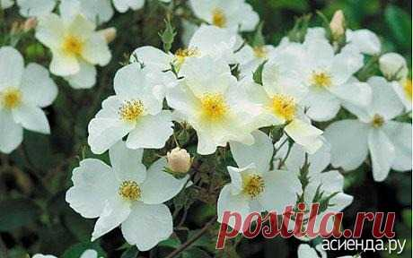 Розы без шипов.: Группа Цветы и флористика