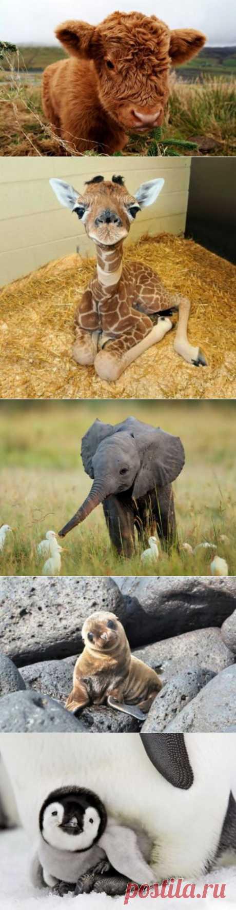Прелестные детёныши животных (25 фото).