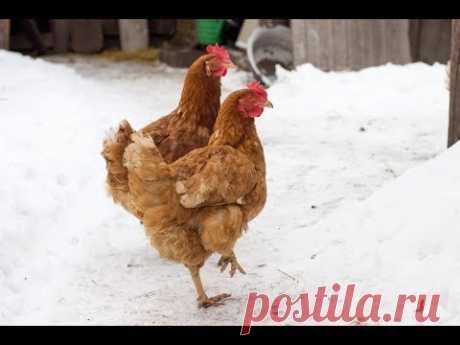 Куры зимой несут яйца каждый день