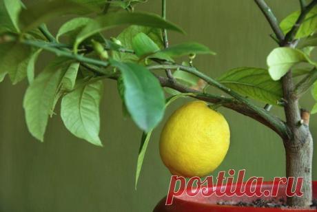 Лимонное дерево в домашних условиях: фото, посадка и уход Размножение из косточки Для того чтобы вырастить лимонное дерево не нужно больших материальных затрат и физических. Для удачного проращивания понадобятся: лимонные косточки,земля универсальная,регуляр...