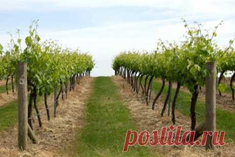 Что посадить под виноградом можно, а что нельзя | Виноград (Огород.ru)