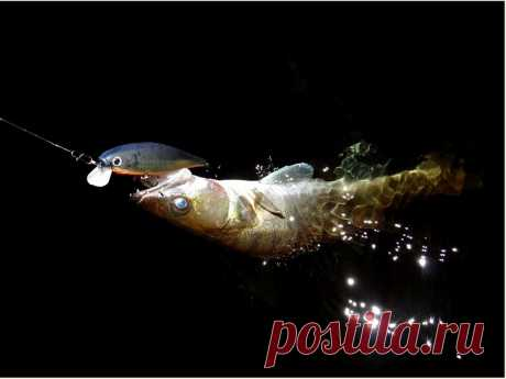 Ночная ловля судака Места охоты судака ночью. На какие приманки ловить, а на какие не стоит даже и пытаться. Ночная ловля судака не входит в ряд популярных и распространённых
