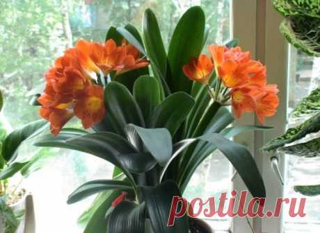 Цветок Кливия. Уход, пересадка, размножение, болезни и фото Кливии.