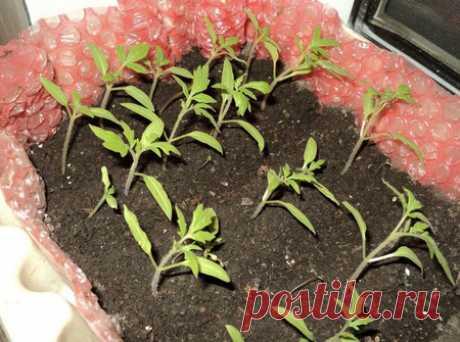 Выращивание томатов в теплице: посадка и уход за помидорами в закрытом грунте