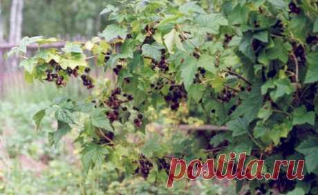 После того как собрала урожай, каждый год в августе ложу подкормку под куст смородины, благодаря которой у меня всегда обильный | Только самое нужное и полезное. | Яндекс Дзен