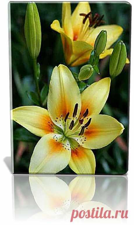 Лилия (Lilium) - многолетнее ярко цветущее луковичные растения семейства лилейные, уже сотни лет используемые в культуре и в настоящее время насчитывающие около 2 тысяч сортов.