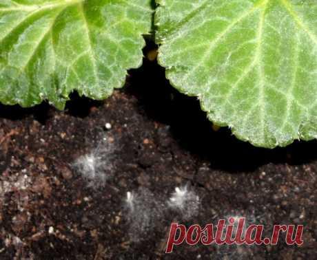 Плесень и белый налёт в горшках комнатных растений. Как избавиться от плесени на земле?
