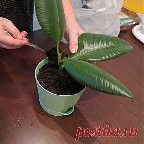 Усадьба   Цветы в доме : Выращиваем фикус в домашних условиях