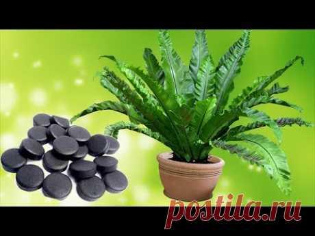 Активированный уголь – важный препарат для комнатных растений. - YouTube