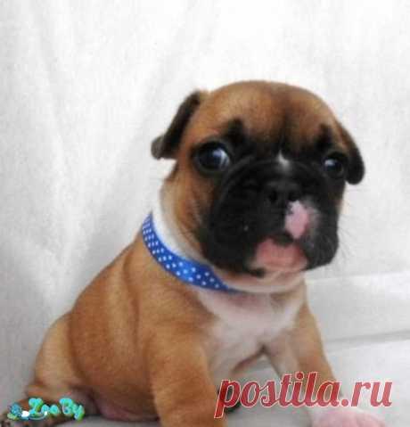 Французский бульдог щенки(бронь) купить в Минске на сайте объявлений