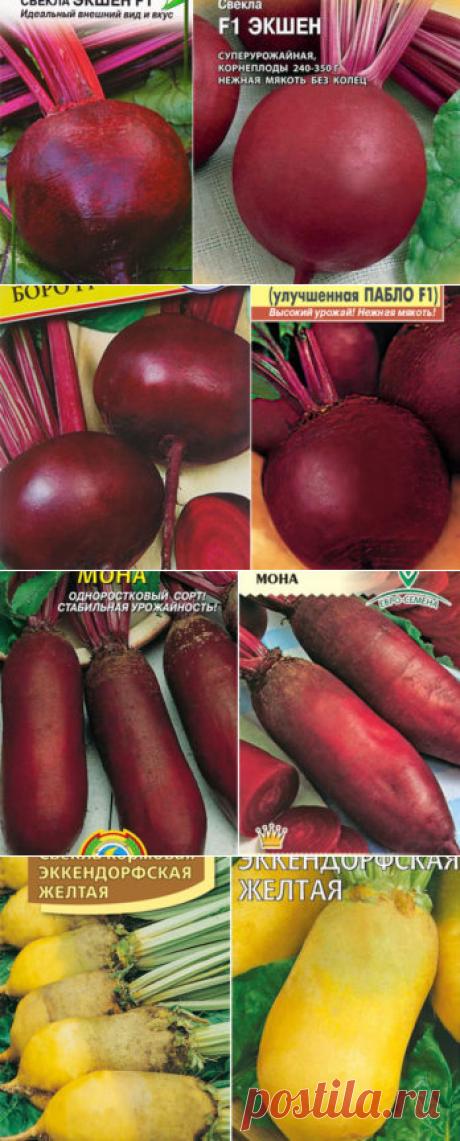 Свекла, описания сортов, характеристики, особенности выращивания и хранения.