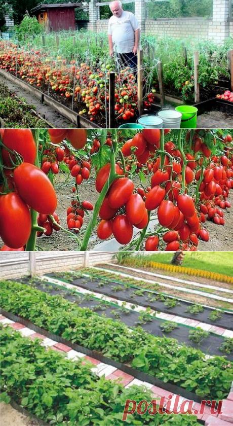 Дедовский рецепт для отменного урожая томатов - My izumrud