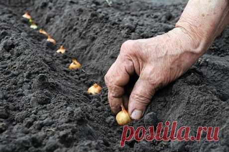 БАБУШКИН СЕКРЕТ ПОСАДКИ ЛУКА-СЕВКА!!!  Покупала я у одной бабушки семена лука не чернушку, а уже маленькие луковички, тут сорт не имеет значения. И она дала совет как его правильно садить. Я сажу лук уже несколько лет и очень благодарна бабушке за ее подсказку. Просушиваю луковички и с недельку прогреваю при температуре 20 – 25 градусов. Перед самой посадкой замачиваю на три часа в подсоленной воде – одна столовая ложка на один литр теплой воды.   Затем промываю и опять за...