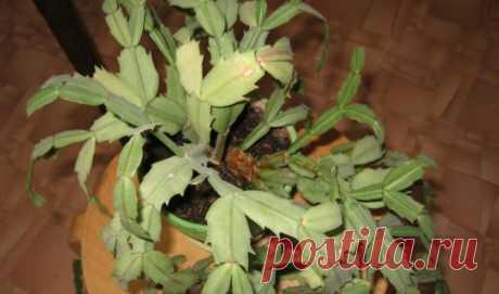 Мягкие и вялые листья у Декабриста? Рассказываю как Простейшим способом помочь растению | Все о цветоводстве | Яндекс Дзен