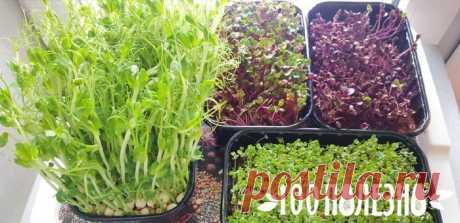 Микрозелень: как выращивать в домашних условиях полезный продукт
