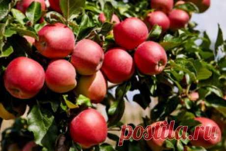 Как заставить яблоню плодоносить каждый год? Секреты садовода